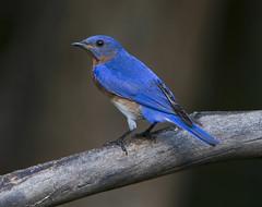 Eastern Bluebird, male (AllHarts) Tags: maleeasternbluebird backyardbirds memphistn naturesspirit feathersbeaks ourwonderfulandfragileworld naturescarousel ngc npc