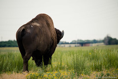 Trudging Away (Uncharted Sights) Tags: rocky mountain arsenal national wildlife refuge colorad denver nature outdoors explore adventure discover canon 80d sigma 150500 bison buffalo