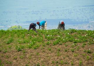 Ethiopian people working in a field, Gamo Gofa Zone, Ganta, Ethiopia