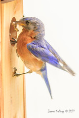 Male bluebird with worm (James Kellogg's Photographs) Tags: male blue bird bluebird worm baby babies feeding time food dinner supper nest little bakyard cute beautiful hungry