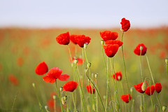 Poppyfield (Anita van Rennes) Tags: poppyfield poppy