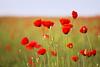 Poppyfield (Anita van Rennes) Tags: poppyfield poppy