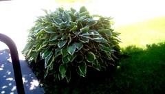 Library hosta! (Maenette1) Tags: hosta plant green grass sunlight spiespubliclibrary menominee uppermichigan flickr365