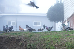 Fying Rats (Blinking Charlie) Tags: pigeons fog mist 23rdavenue centraldistrict centralarea seattle washingtonstate usa 2016 sonydscrx100m3 blinkingcharlie seagull