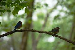 Love Birds (dzmears) Tags: birds bird blue male female branch tree trees leaves wildlife love