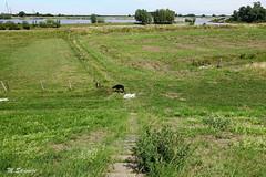 Rechtdoor Fabio (Marja S) Tags: dobermann dogwalk holland hondenwandeling