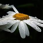 2017-07-10  daisy in the rain (38)pm thumbnail