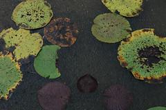 Tropical Rain (Camila Iquiene) Tags: rain rainfall amazonas vitóriarégia victoria amazonica オオオニバス river water água rio amazônia アマゾン ブラジル 川 雨