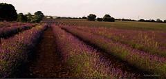 IMG_4826 (Rabadán Fotho) Tags: lavanda campos flordelavanda paisaje landscape lavender espliego lavandín guadalajara castilla la mancha españa spain flowers flores europa europe canon eos flower fields campo