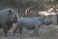 South Africa (477 of 810) (gracemcleod94) Tags: buffaloland africa black blackrhino dehorned rhino south