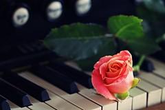 _MG_0731b - 17.06.2017 (hippo1107) Tags: harmonium rose geige violine tasteninstrument notenblatt musik music canon eos 70d canoneos70d juni 2017