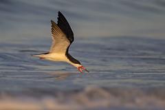 Skimming... (DTT67) Tags: blackskimmer skimmer bird bif flight birdinflight water ocean wildlife nature nationalgeographic canon 1dxmkii 500mmmkii 14xtciii