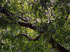 Rainy walnut (locusmeus) Tags: 365 summer walnut walnoot walnuss tree leaves nuts rain drops wet shadesofgreen