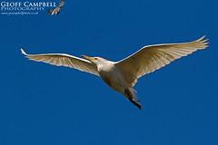 Cattle Egret (Bubulcus ibis) (gcampbellphoto) Tags: cattleegret bubulcusibis egret heron mallorca spain albufera gcampbellphoto bird avian flight birdinflight