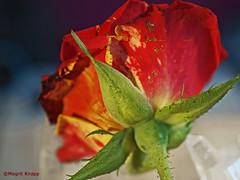 Macro Monday Bottoms Up (magritknapp) Tags: rose gesprenkelt rotgelb speckled red yellow tachetée rouge jaune rosa moteado rojo amarillo salpicado vermelho amarelo maculato rosso giallo