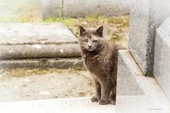 Cat (Carlos SGP) Tags: gato cat madrid felino felinos animales animals animal chat 貓 cementerio sacramentaldesanlorenzo