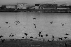 _DSF1673_ORIGINAL-FORMAT (izumi masakazu) Tags: monochrome bw streetsnap tokyo shadow silhouette light movement motion activity river bird water scenery landscape animal 東京 影 シルエット 光 川 河 鳥 水