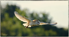 Barn Owl (jonathancoombes) Tags: barn owl nature wildlife bird prey explore hunting flight wings