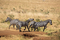 All this waiting makes one argumentative (Ring a Ding Ding) Tags: africa apoka canon5dmk111 equusquaggaburchellii kidepo uganda fighting fullframecamera herd nature plainszebra safari wildlife dodoth northernregion coth ngc