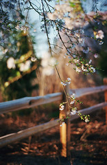 spring things, part six (manyfires) Tags: film analog flowers floralscape 35mm nikonf100 spring blossom bloom oregon pnw pacificnorthwest westmorelandpark cherrytree weepingcherrytree fence bokeh sunset golden magichour pdx portland