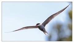 Common Tern (Unintended_Keith) Tags: commontern birdinflight bird nature wildlife canon1dx sigma150600mms