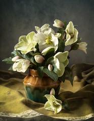 Hellebores (geoffreyhowe) Tags: flowers stillife hellebores