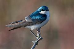 SwallowIrridescence1 (2) (Rich Mayer Photography) Tags: tree barn swallow swallows bird birds animal animals avian nature fly flying flight perch wild life wildlife nikon
