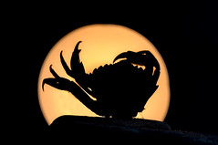 Silhuette HHM (The Papa'razzi of dogs) Tags: sihuette krabbe crab macro macromondays siluette