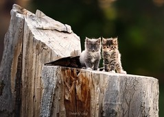 Two of a Kind (Portraits by Suzy) Tags: portrait color nature cat tree summer animal cute wood cats looking sit woods wildlife one fur pets outdoors kittens wild daylight mammal cure no person portraits by suzy mead