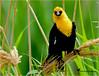 The Joy of Nature (Aspenbreeze) Tags: yellowheadedblackbird bird avian wildbird nature coloradobird coloradowildlife yellowbird rural aspenbreeze moonandbackphotography bevzuerlein