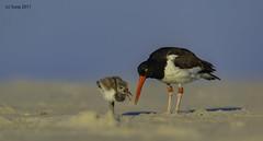 American Oystercatcher (suraj.ramamurthy) Tags: oystercatcher longislandbeaches northamerica birdsofnorthamerica birdsoflongisland