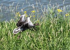 Goose (Eduard van Bergen) Tags: goose geese birds birdwatching vögel gans ganzen takeoff ascending climbing airborn flying screaming