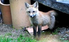 DSC_0699 (rachidH) Tags: fox renard vulpes foxcub renardeau redfox renardroux vulpesvulpes backyard frontyard wildlife sparta newjersey nj rachidh nature