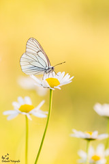 Black Veined White (Deknatel Photography) Tags: butterflies butterfly black beautiful backlight bokeh nature naturepics insects insect veined white sun sunlight wildlife wings flower flowers