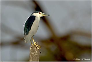 The Beautiful Heron!