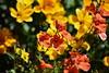 Flower pot combination (ngawangchodron) Tags: sakya victoriabuddhistdharmasociety maplewoodroad victoria bc canada vancouverisland saanich taken9june2017