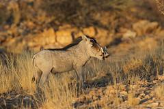 Common Warthog, Solitaire, Namibia October 2014 (Sterna999) Tags: commonwarthog phacochoerusafricanus solitaire weltewrede namibia südafrika desert wüste