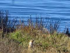Baby red fox and an ocean view-san pedro (gskipperii) Tags: foxes babies fox redfox canid nonnative sanpedro pointfermin ocean southbay outdoors nature mammal wildlife ears cute adorable whatdoesthefoxsay