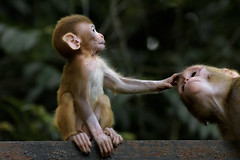 Bless you mom! (chandra.nitin) Tags: animal deerpark juvenile macaque mammal monkey monkeys nature rhesusmacaque newdelhi delhi india