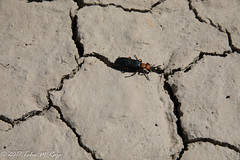 Beetle Insect on the Desert (taharaja) Tags: cactus california deathvalley desert furnacecreek ghosttown jeeping lowestpoint nationalpark offroad oldtown racetrack sealevel zabriskiepoint lakebed movingstones slatflats