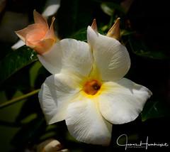 Mandevilla (jhambright52) Tags: apricot macroflowers mandevilla apricotmandevilla doublefantasy