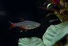 20170521-IMG_2711 (pixelGeko) Tags: aquarium nizam