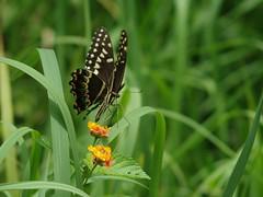 Swallowtail (bamboosage) Tags: takumar 200 35 preset m42 ngc npc