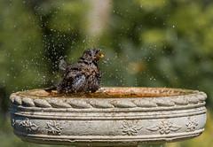 Just a bit to much (Stu thatcher) Tags: bird uk water bath fast shutter speed birds wet splash britain england english worcester worcestershire