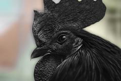 Ayam Cemani (@pabloralonso) Tags: ayamcemani ayam ceman gallonegro animal nature indonesia black negro asturias candas bokeh pentax ngc