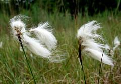 Het waait/ Blowing in the wind (truus1949) Tags: wandelen wollegras wind zomer