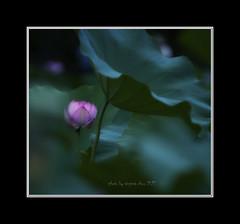 _DSC8902a-Nikon D300-NIKKOR70.0-300.0 mm f/4.5-5.6-Virginia Chou (virginia1988) Tags: 台灣 台北市 中華民國 荷花 荷 荷葉 植物 花卉 virginiachou如 virginiachou taiwan taipei lotus flower