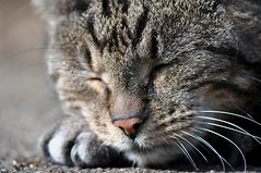 Monday Face (SpitMcGee) Tags: mondayface minou kater cat tabby pet träume dreams schlafe sleep wahrheit truth etahoffmann spitmcgee cc100