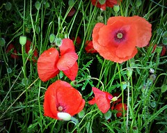 poppies (april-mo) Tags: poppies coquelicots
