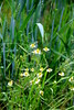 Wilde Margeriten (Yukkuriko) Tags: deutschland germany ドイツ bearbeitet lemförde stemwederberg heimat margeriten wildemargeriten blumen blüten flowers 花